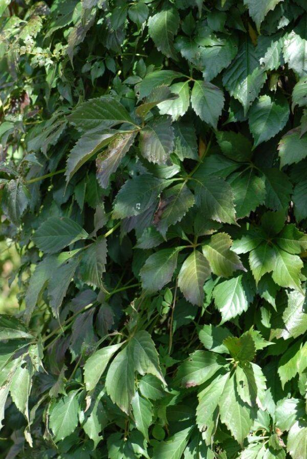 parthenocissus-quinquefolia-engelmannii-vigne-vierge-de-virginie-engelmannii.jpg