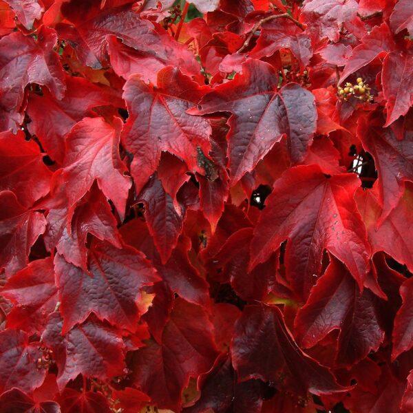 parthenocissus-tricuspidata-veitchi-lierre-de-boston-veitchi.jpg