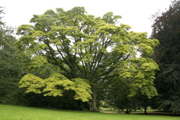 phellodendron.amurense.arbre_.liege.jpg