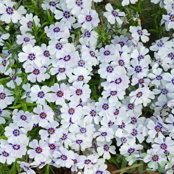 phlox-s.north-hills.jpg
