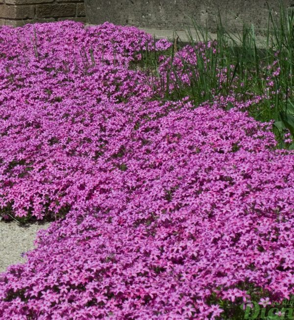 phlox-s.red-wings.jpg