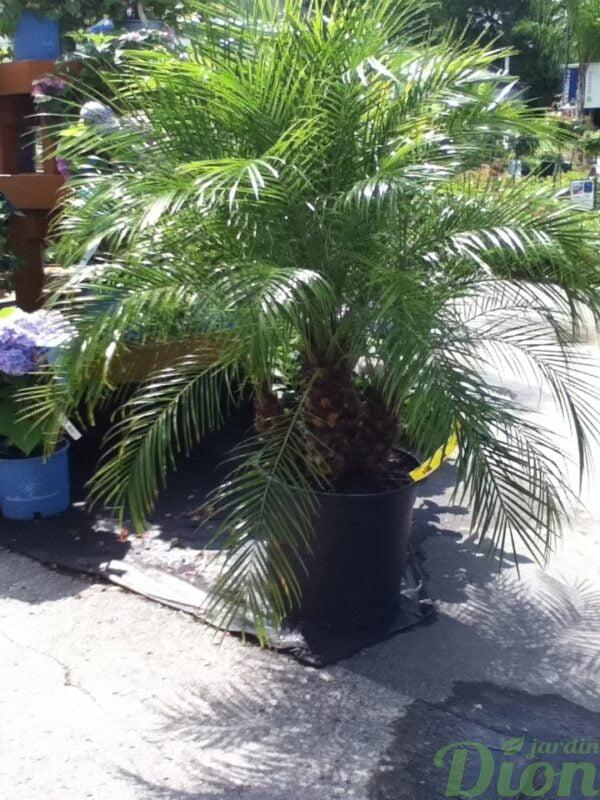 phoenis-roebelenii-palmier-dattier-nain.jpg