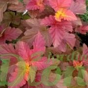physocarpus-amberjubilee-physocarpe-feuillage automne