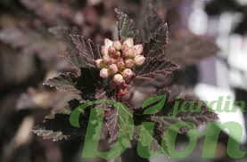 physocarpus-opulifolius-little-devil-physocarpe.png