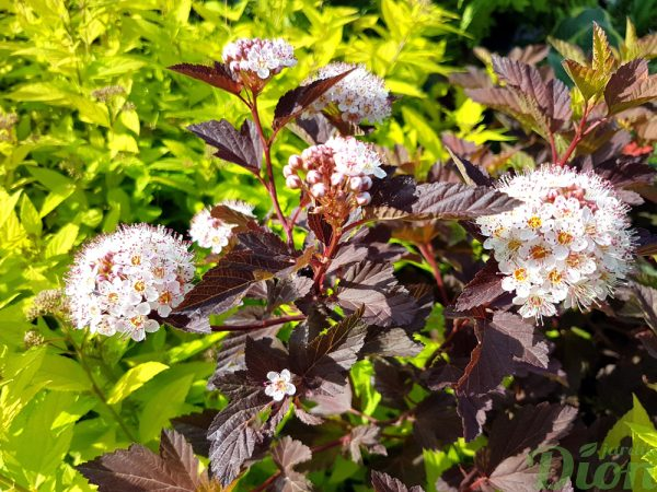 Physocarpus opulifolius 'Summerwine' – Floraison
