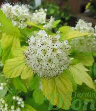 physocarpus.opulifolius.dart.gold-physocarpe.dore.physocarpus.jaune-physocarpus.dore-arbuste.a.feuillage.jaune