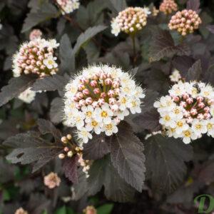 Arbustes jardin dion part 11 - Arbuste feuillage pourpre ...