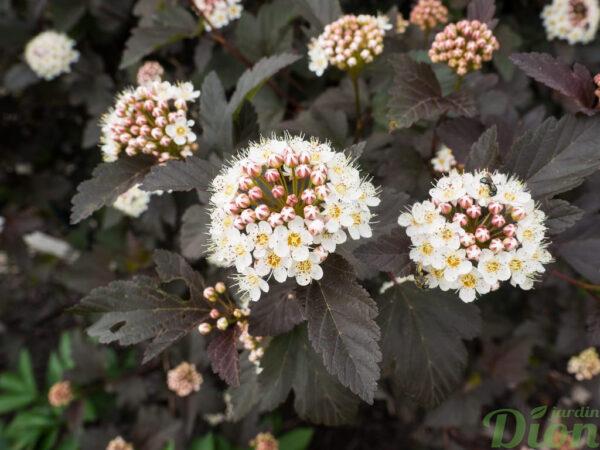 Physocarpus opulifolius little devil jardin dion - Arbuste feuillage pourpre ...