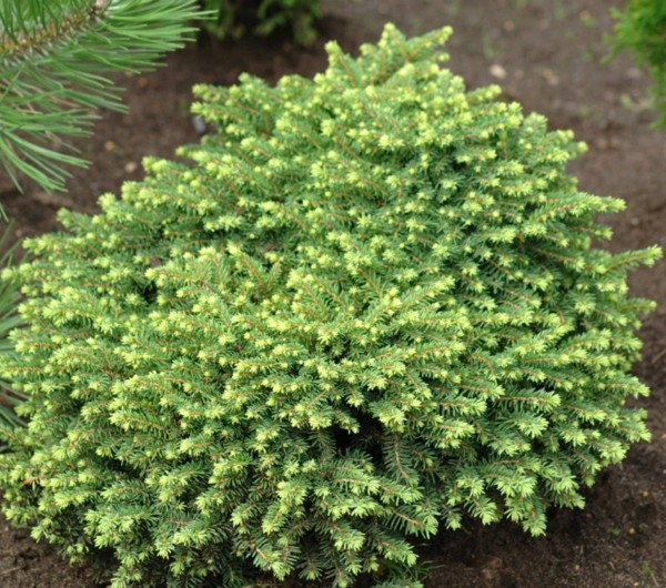 picea-abies-little-gem-epinette-little-gem.jpg
