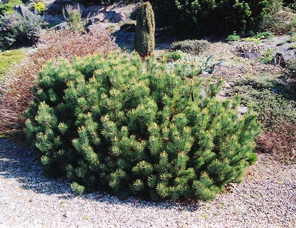 pinus-mugho-pumilio-pin-de-montagne-pumilio-600×462