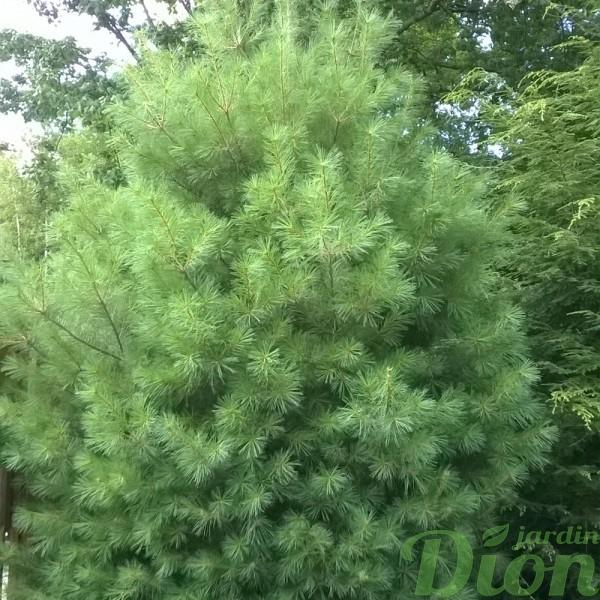 pinus-strobus-pin blanc