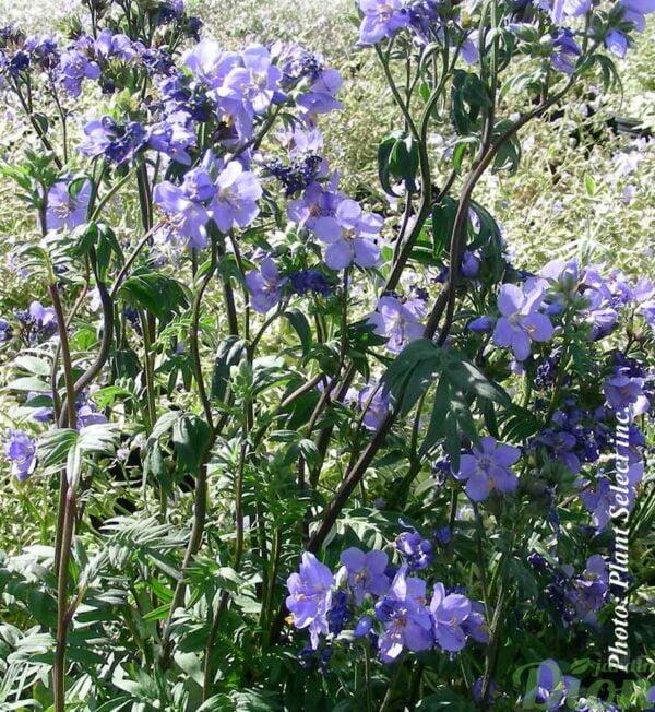 polemonium-bressingham-purple.jpg