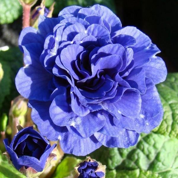 primula-bel.cobalt-blue.jpg