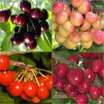 prunus-4dans1-cerisier-4dans1.jpg