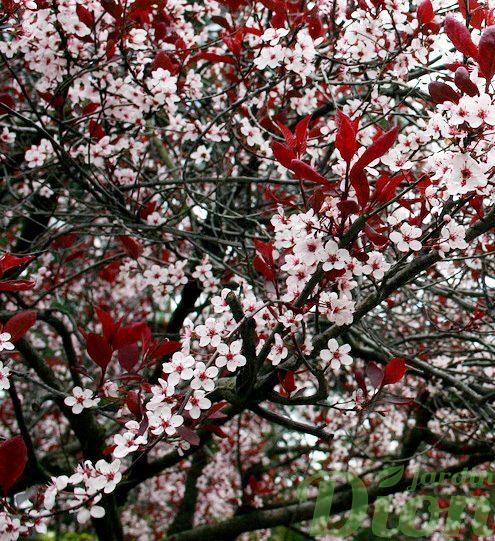 Prunus cistena en fleurs