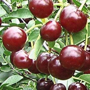 prunus-crimson-passion-cerisier-crimson-passion.jpg
