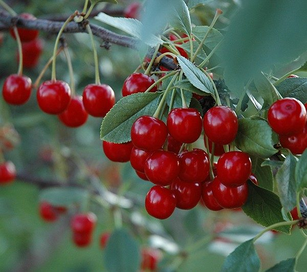 prunus-evans-cerisier-evans-600×532