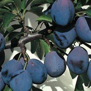prunus-italien-bleu-prunier-italien-bleu-300×300