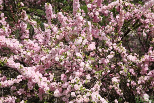 Prunus triloba multiplex