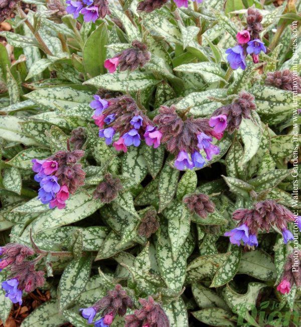 pulmonaria-long.cevennensis.jpg