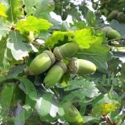 quercus-robur-fastigiata-chêne colonnaire-glands (fruits)