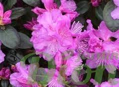 Rhododendron pjm compacta