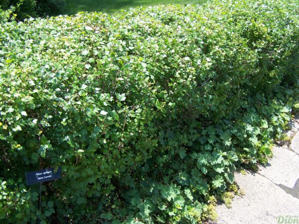 Ribes alpinum – Haie