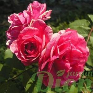 rosa-alexander-mackenzie-rosier-alexander-mckenzie.jpg
