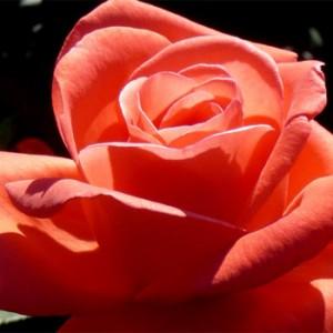 rosa-artisry-rosier-artistry.jpg