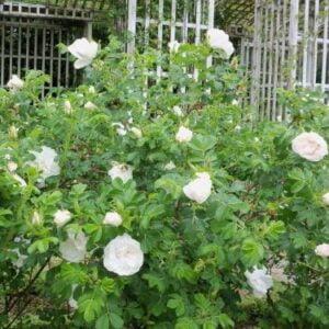 rosa-blanc-de-coubert-rosier-blanc-de-coubert.jpg