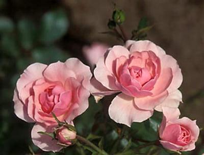 rosa-bonica-rosier-bonica.jpg