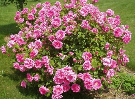 rosa-carefree-beauty-rosier-carefree-beauty.jpg