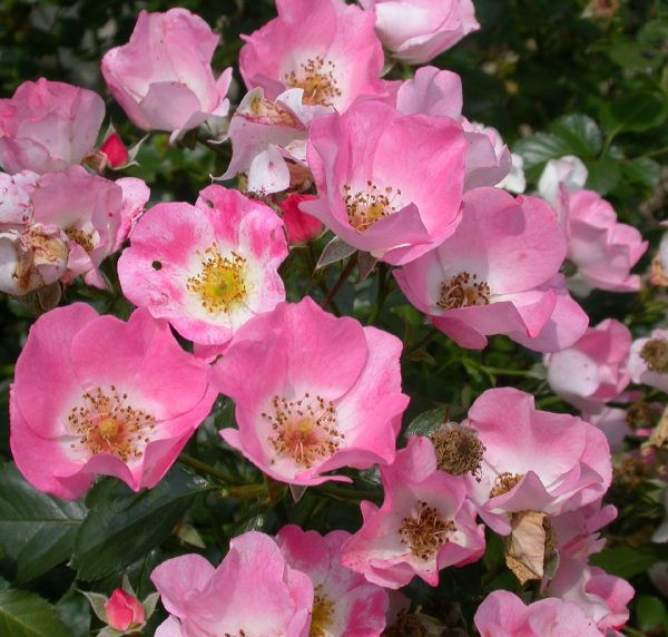 rosa-carefree-delight-rosier-carefree-delight.jpg