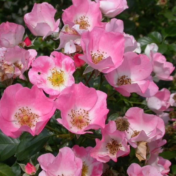 rosa-carefree-delight-rosier-carefree-delight.jpg