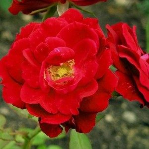 rosa-champlain-rosier-champlain-300×300