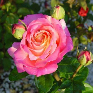 rosa-chicago-peace-rosier-chicago-peace.jpg