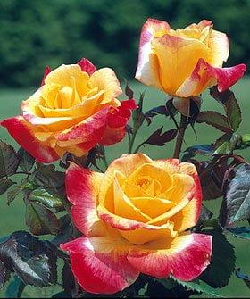 rosa-desert-peace-rosier-desert-peace.jpg