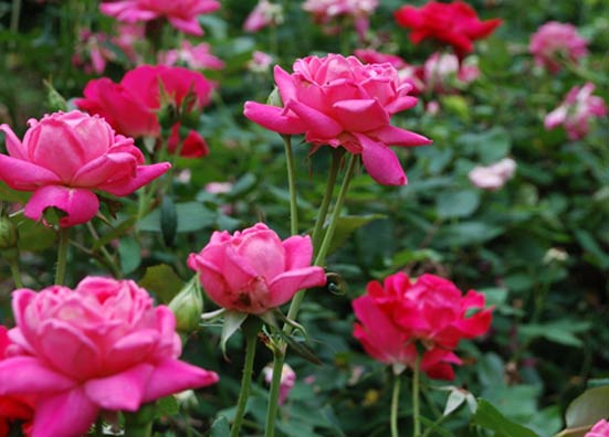 rosa-double-knockout-rosier-double-knockout.jpg
