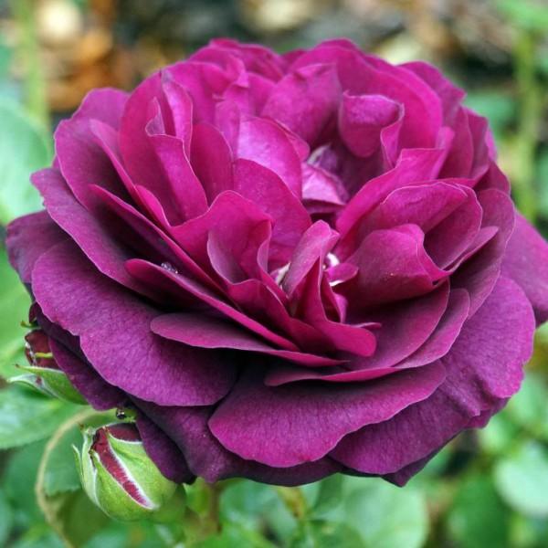 rosa-ebb-tide-rosier-ebb-tide.jpg
