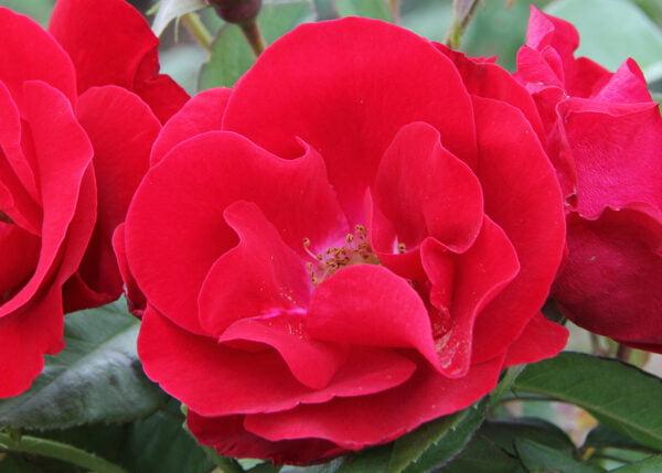 rosa-emily-carr-rosier-emily.carr.jpg