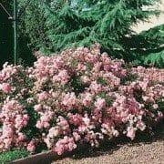 rosa-fairy-rosier-fairy-180×180
