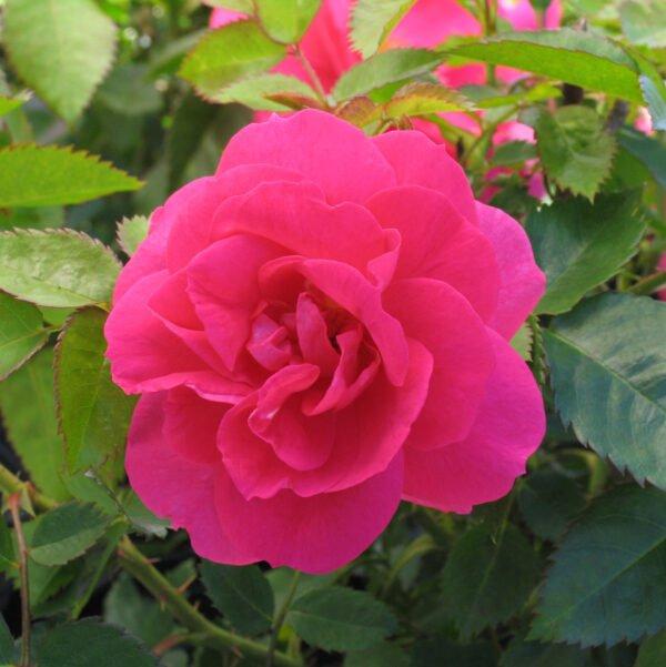 rosa-felix-leclerc-rosier-felix-leclerc.jpg