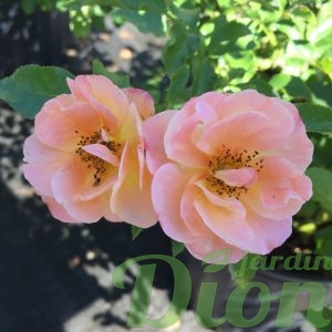 Rosier flower carpet Amber