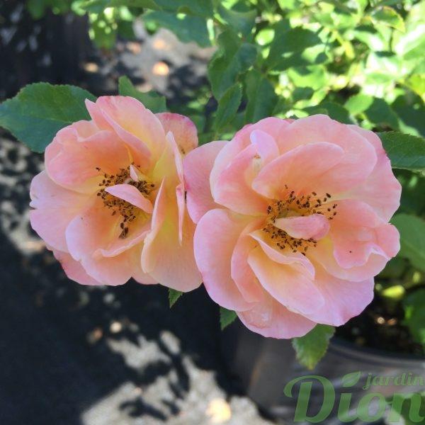 Rosier flower carpet Amber