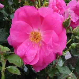 rosa-frontenac-rosier-frontenac.jpg
