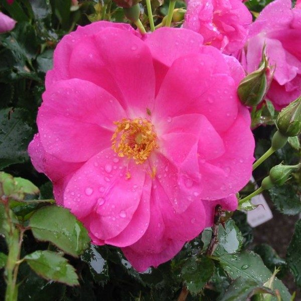 rosa-frontenac-rosier-frontenac-600×600