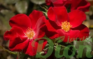 rosa-home-run-rosier-home-run.jpg