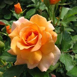 rosa-honey-perfume-rosier-honey-perfume.jpg