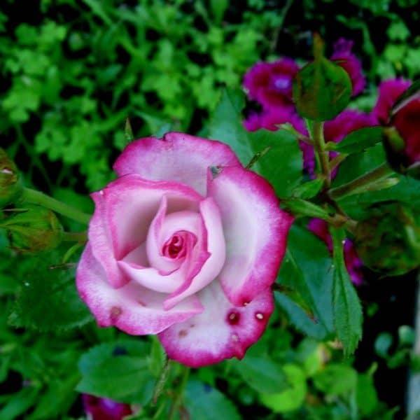 rosa-kristin-rosier-kristin-600×600