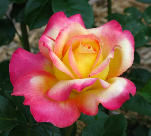 rosa-love-and-peace-rosier-love-and-peace.jpg